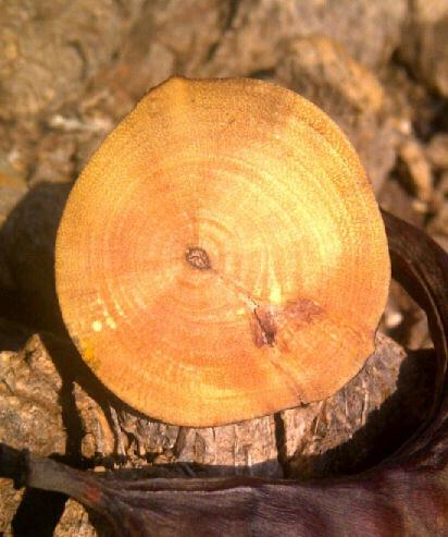Carob Wood Ring